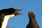 Adelie penguin adult shouting on its fledgling Terre Adelie (Adelie penguin)