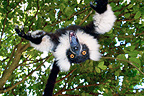 Grimace a young Ruffed lemur playing Madagascar (Black-and-white ruffed lemur )
