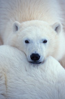 Portrait of Polar Bear Churchill Canada (Polar bear)