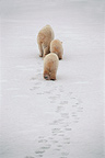 Polar bear and cubs walking in snow Churchill Canada (Polar bear)