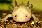Portrait of Axolotl in aquarium France