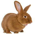 Tattooed Fauve de Bourgogne rabbit yawning  (Domestic rabbit)