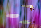 White pond lily seen through purple loosestrife flowers