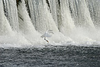 Little Egret landing on turmoil Loire France (Little egret)
