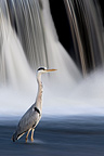Grey Heron stalk on the Loire Burgundy France (Grey Heron)