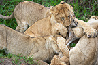 Lion cubs playing with a young Gazelle Masai Mara Kenya (African lion)