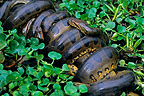 Multiple male green anacondas mating with a single female in a swamp, Venezuela