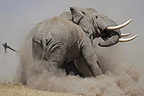 Fight between two african elephants males Kenya (African elephant)