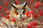 Portrait of a Northern Long-eared Owl behind branches France (Long-eared Owl)