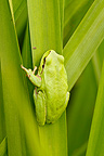 Treefrog on a piece of reed France (Treefrog)