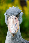 Portrait of a Shoebill, Jurong park, Singapore (Shoebill )