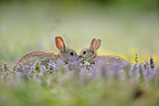 Wheedle between european rabbits next to its burrow France (European rabbit)