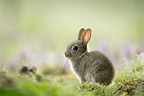 Young european rabbit next to its burrow Aube France (European rabbit)
