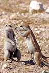 South african ground squirrel welcoming at burrow Namibia (South african ground squirrel)
