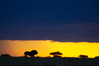 Lone lion in savanna at sunset Masai Mara Kenya (African lion)