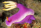 Pink Nudibranch based on a coral reef Malaysia