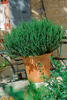 Garden thyme in pot France