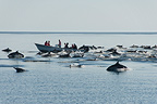 Boat of tourists surrounded by Common dolphins Sea of Cortez (Short-beaked saddle-backed  (common) dolphin)