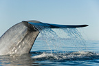 Tailstock of a Blue whale as it beginning a dive (Blue whale)