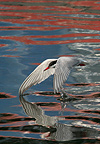 Common tern skimming the water surface England (Common tern)