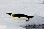 Emperor penguin leaving water Terre Adelie (Emperor penguin)