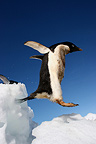 Adelie penguin jumping on the ice-floe Terre Adelie (Adelie penguin)