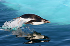 Adelie penguin jumping over water Terre Adelie (Adelie penguin)