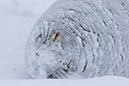 Weddell seal sleeping in blizzard Terre Adelie (Weddell seal )