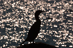 European Shag silhouette on background of water reflections (European Shag)
