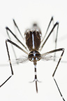 Asian Tiger Mosquito male Spain (Mosquito)