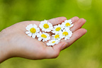 Feverfew flowers in a child's hands France