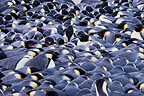 Turtle of Emperor penguins in blizzard Terre Adelie (Emperor penguin)