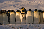 Emperor penguins in a katabatic wind Terre Adelie (Emperor penguin)