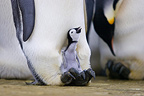 Emperor penguin parent with fledgling on it's feet to keep it warm, Pointe Geologie archipelago, Terre Adelie, Antarctica
