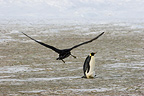 Giant petrel flying near a Emperor penguin Terre Adelie (Giant petrel)