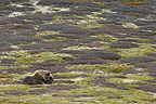 Muskox resting in the tundra Dovrefjell Norway