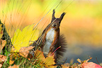 Red squirrel on the look-out among fallen leaves Bavaria (Eurasian red Squirrel )