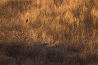 Young Hen Harrier in an area of wasteland, France (Hen Harrier)