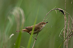 Eurasian Reed Warbler feeding on midges, France (Eurasian Reed Warbler)