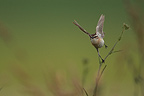 Winchat female fly away Cereal plain Champagne (Winchat)