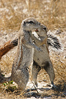 South African ground squirrels greeting Etosha NP Namibia (South african ground squirrel)