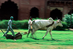 Zebu towing a mower Fort red Agra India