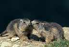 Two young Marmots playing face-to-face Vanoise France (Alpine marmot )
