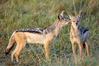 Black backed Jackals in savanna Masai Mara Kenya (Back-backed jackal)