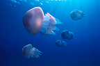 Group of Jellyfishes swimming