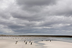 Gentoo penguins running on a beach in Falkland Islands (Gentoo penguin)