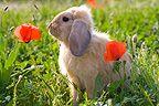 Dwarf Rabbit in a meadow in spring (dwarf rabbit)