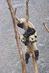 Giant pandas climbing in a tree Sichuan China (Giant panda )