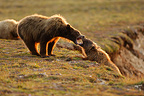 Friendly fight between an adult and a young Grizzly Bears (Grizzly bear)