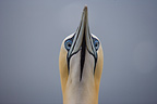 Portrait of a Northern gannet Scotland (Northern Gannet )